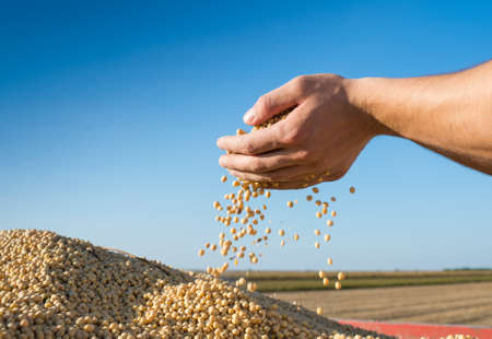 man field: ripe soybeans after harvest
