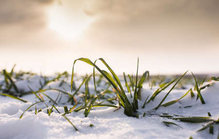 winter wheat: Young wheat under snow