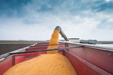 秋のトウモロコシの収穫 写真素材