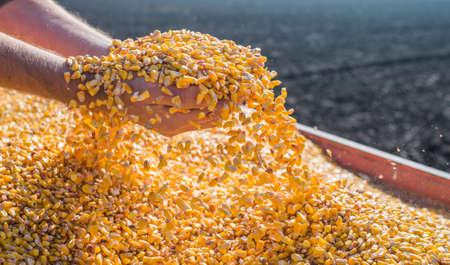 Maïs zaad in de hand van de boer.