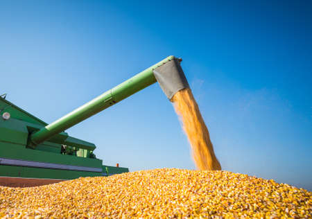 Corn harvest in autumn Foto de archivo