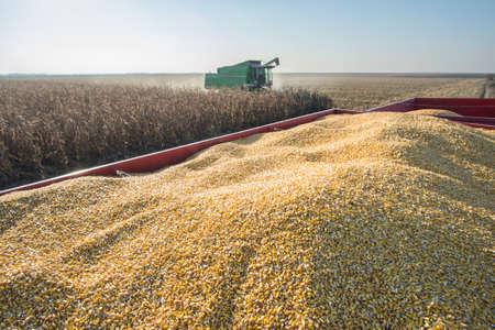Corn harvest in autumn Stock Photo