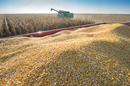 monoculture: Corn harvest in autumn Stock Photo