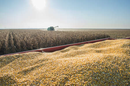 Corn harvest in autumn