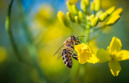 Bee op een bloem koolzaad
