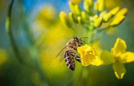 Bee on a flower oilseed rape