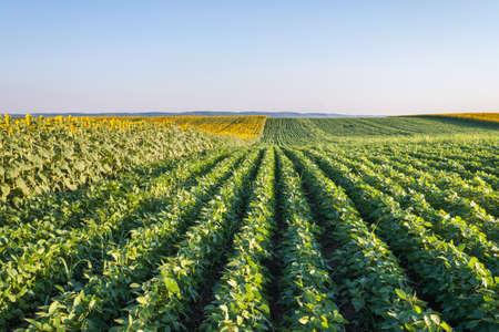 Soybean Field Rows in summer photo