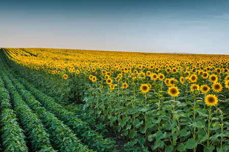 Sunflowers at field in sunset photo