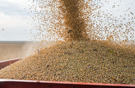 tractor trailer: Pouring soy bean into tractor trailer