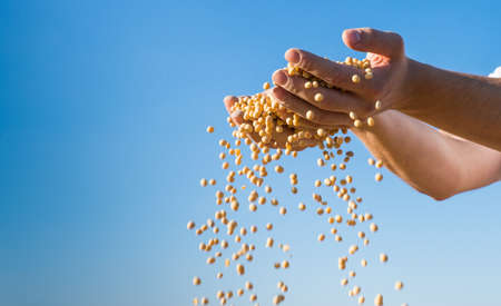 monoculture: ripe soybeans after harvest