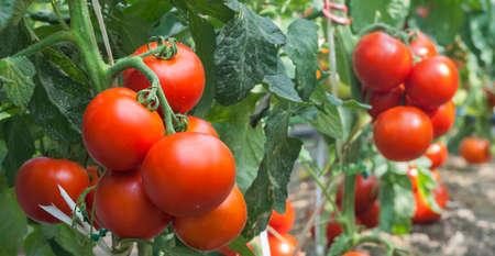 温室トマトの成長
