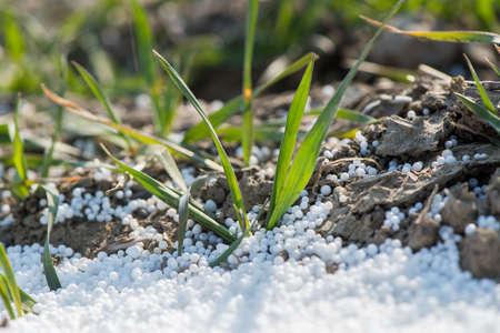 fertilizing: Fertilizing in young wheat