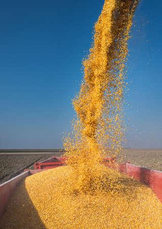 yellow corn: Loading of grain of corn in the tractor trailer Stock Photo