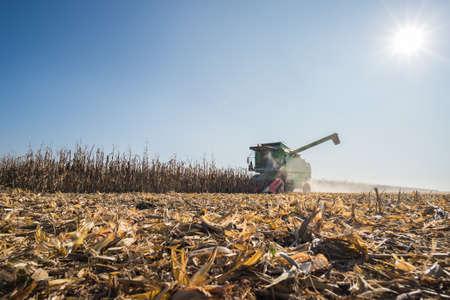 corn fields: Harvesting of corn field