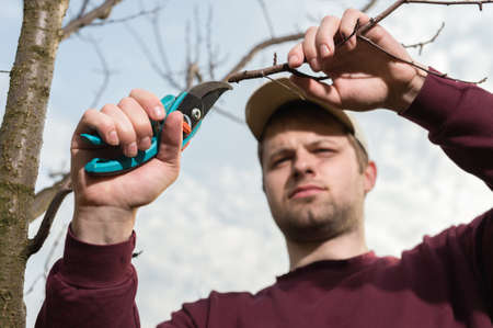 tree trimming: young man trimming trees with secateurs Stock Photo