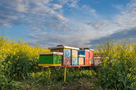 bee hive: Apiary in the field of rapeseed