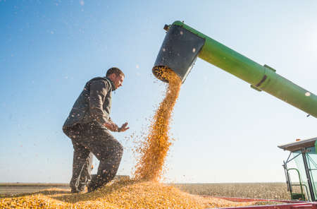 Corn harvest in autumn Stock Photo