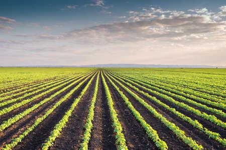 judias verdes: Filas de campo de soja en primavera