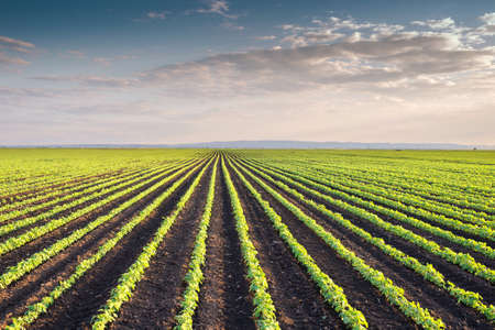 no cloud: Soybean Field Rows in spring