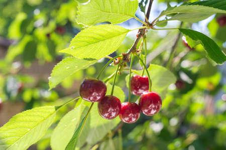 Ripe cherries on orchard tree photo