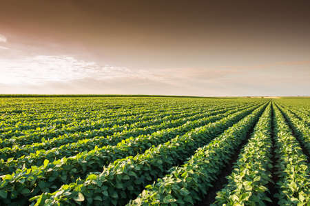 food drink industry: Soybean Field Rows in summer