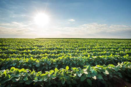 soya bean plant: Soybean Field Rows in summer