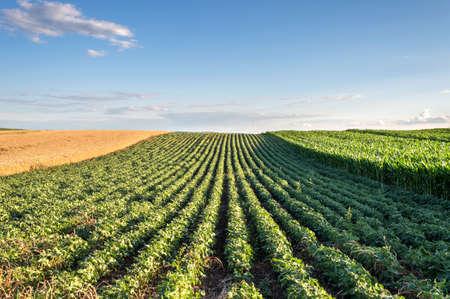 mazorca de maiz: Filas de campo de soja en la puesta del sol