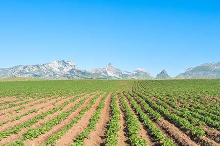 field crop: Landscape with a potato field