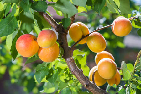arboles frutales: Ripe apricots on a tree branch