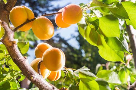orange fruit: Ripe apricots on a tree branch