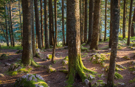 spruce: Natural Spruce Tree Forest Stock Photo