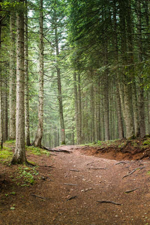 tree  forest: Natural Spruce Tree Forest Stock Photo