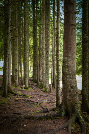 undergrowth: Natural Spruce Tree Forest Stock Photo
