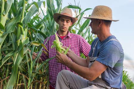 maiz: Los agricultores en un campo de maíz