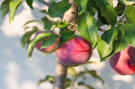 albero da frutto: Mele rosse sul ramo di un albero apple