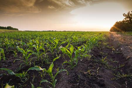 corn rows: Corn field at sunset