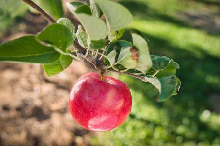 manzana roja: Red apple on apple tree branch