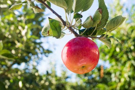 Red apple on apple tree branch