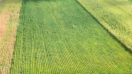 in a row: Rows of corn and soybeans in summer
