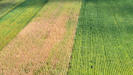 corn rows: Rows of corn and soybeans in summer