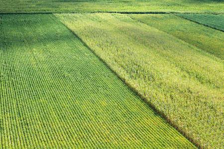 champ de mais: Des rangées de maïs et de soya en été