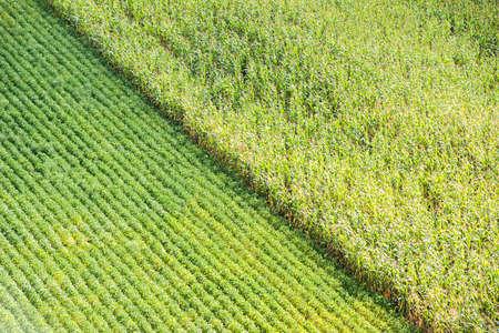 mazorca de maiz: Filas de maíz y soja en verano Foto de archivo