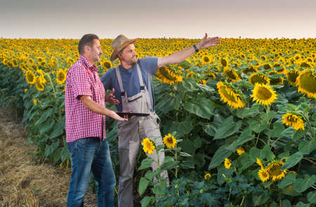 agronomist: Farmers in a field of sunflowers