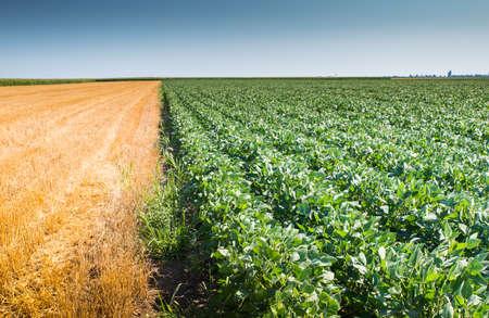 harvest: Soybean Field Rows in summer