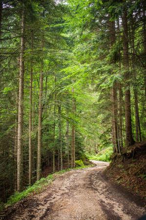 coniferous forest: coniferous forest landscape in summer Stock Photo