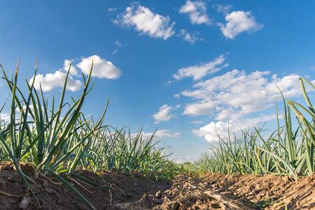 cebolla: Campo agrícola con la cebolla en primavera Foto de archivo