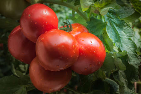 Growing red tomatoes in greenhouse
