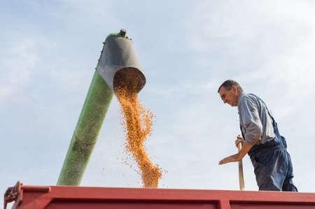 champ de mais: la récolte de maïs sur une terre agricole