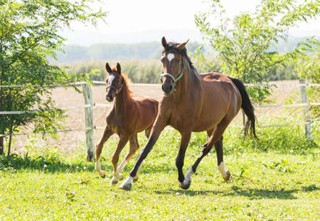 trakehner: Mare and foal in a pasture