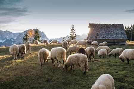 ovejas bebes: Rebaño de ovejas pastando en una colina al atardecer.